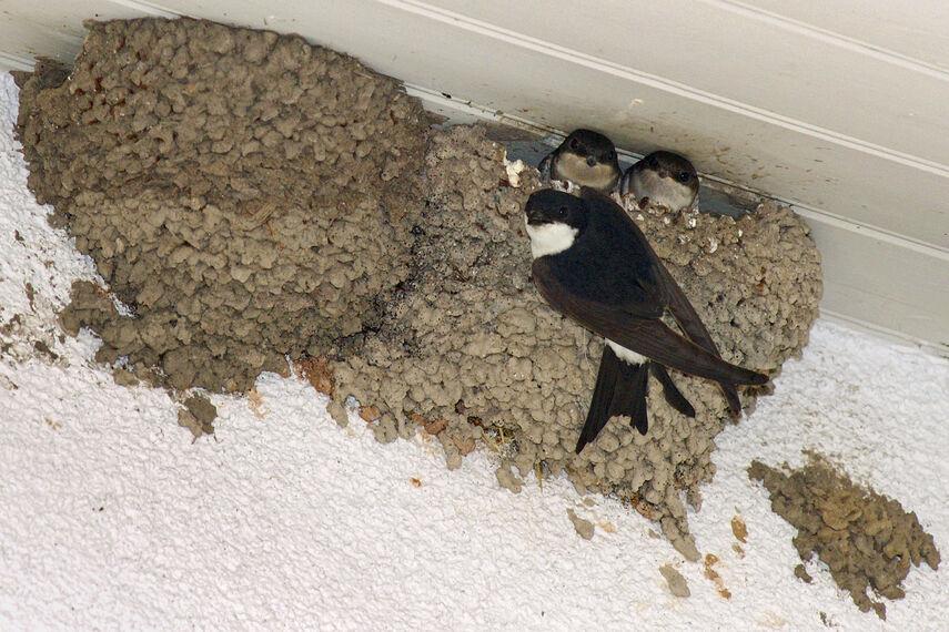 3 Mehlschwalben unter einem Dach im Nest.